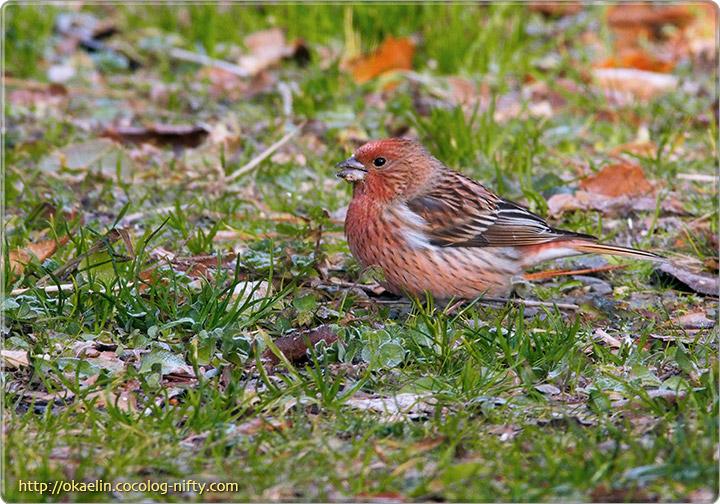 オオマシコ♂若鳥