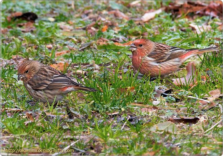 オオマシコ(左:♀ 右:♂若鳥)