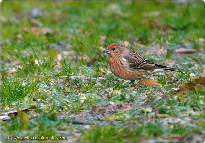 オオマシコ♀若鳥