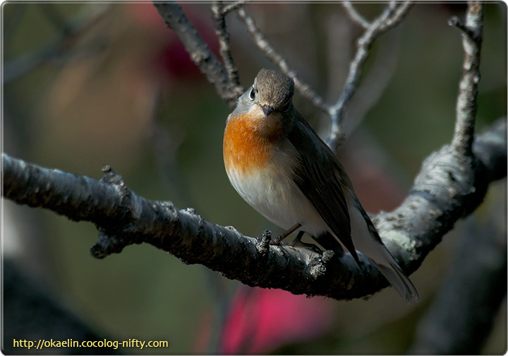 オジロビタキ成鳥♂