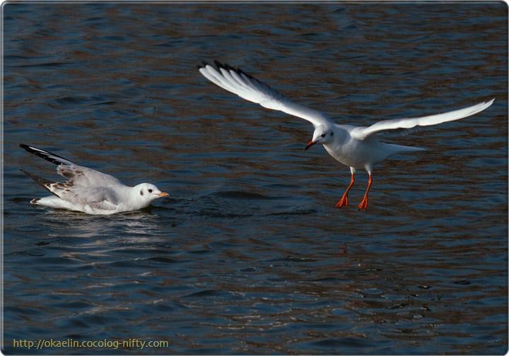 ユリカモメ(左:幼鳥 右:成鳥)