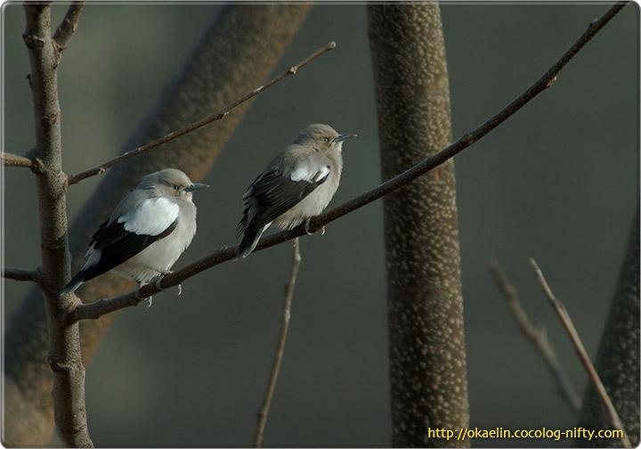 カラムクドリ(左:♂ 右:♀)