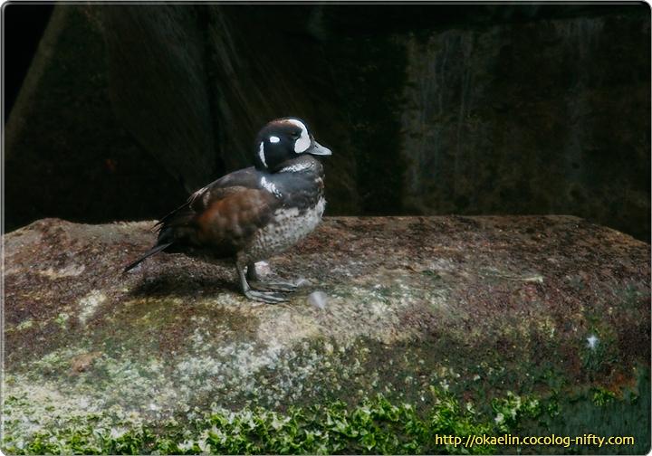 シノリガモ若鳥♂