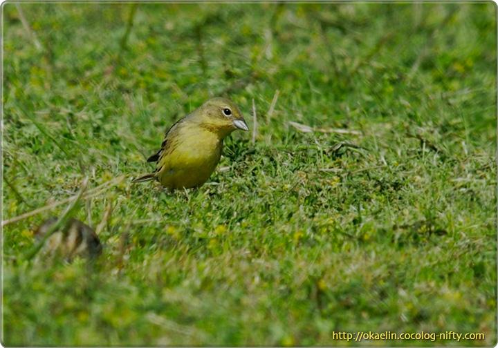 ノジコ♂若鳥