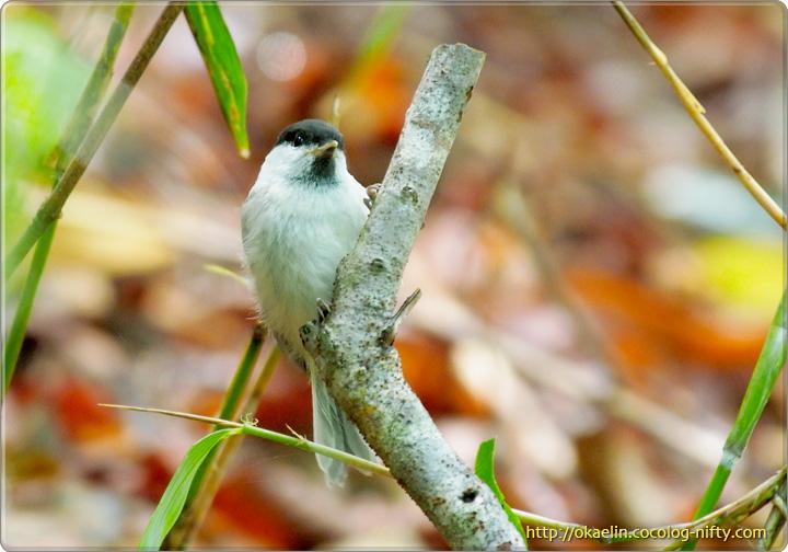 コガラ(幼鳥)