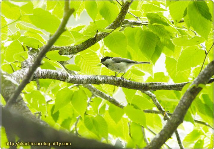 コガラ(親鳥)