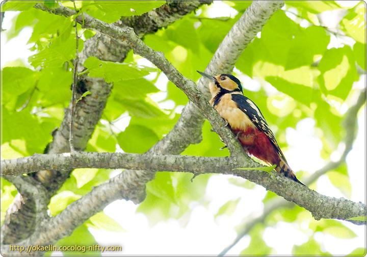 アカゲラ幼鳥