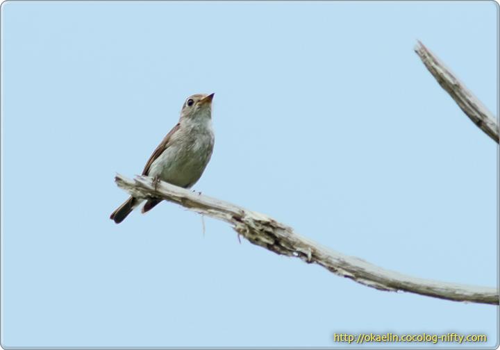 コサメビタキ親鳥