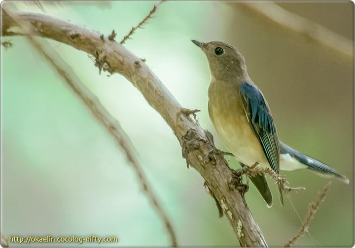 オオルリ幼鳥♂