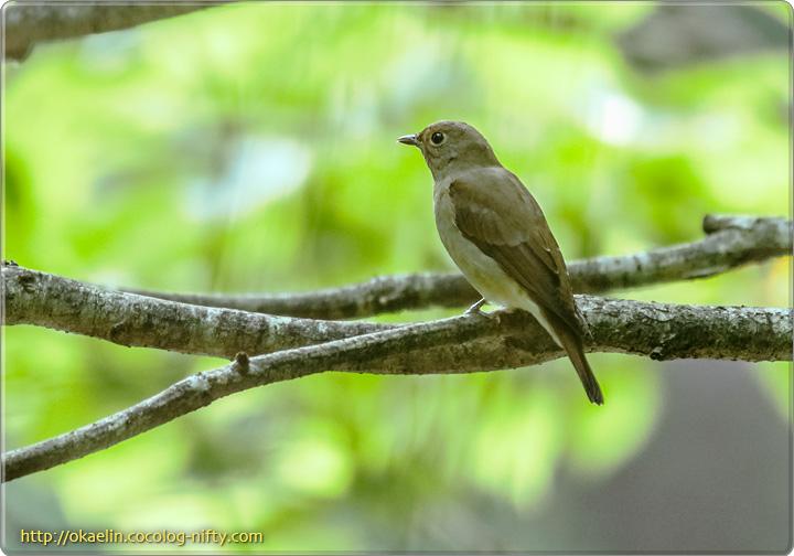 オオルリ幼鳥♀
