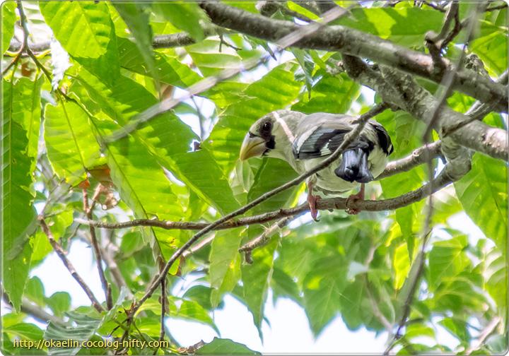 イカル幼鳥