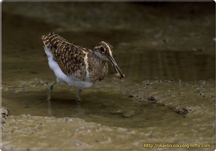 タマシギ♂若鳥