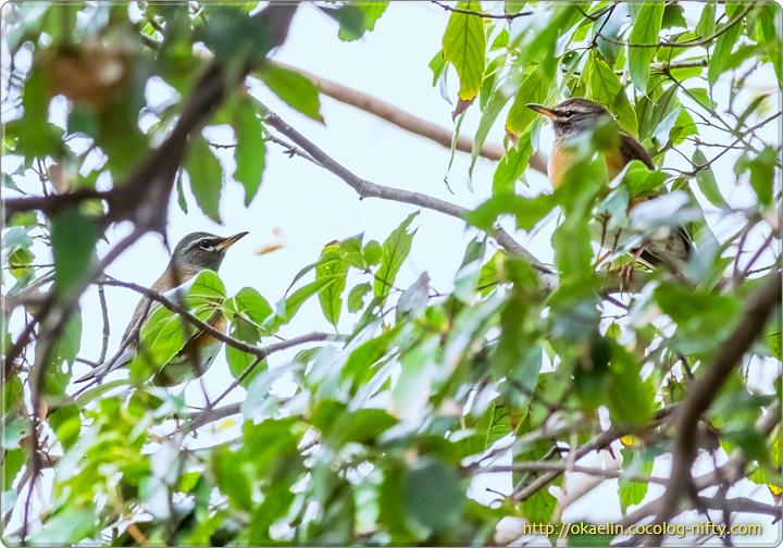 マミチャジナイ(左♂、右♀)