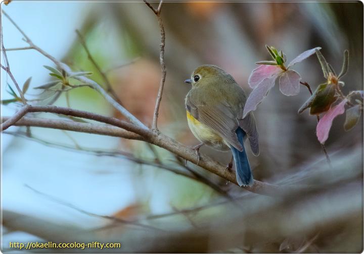 ルリビタキ若鳥♂