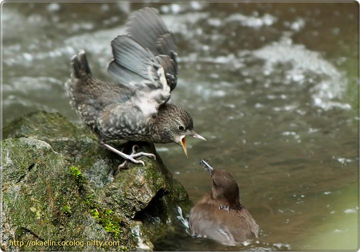 カワガラス雛と親鳥