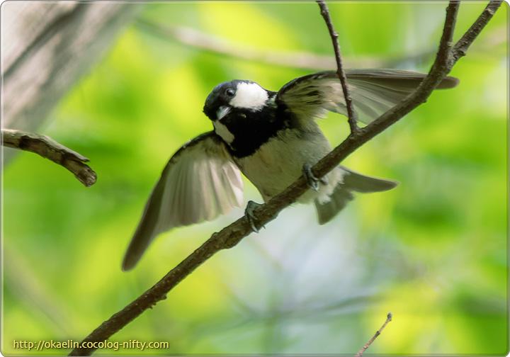 ヒガラ幼鳥