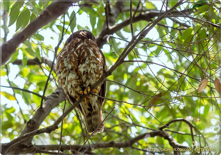 アオバズク親鳥♀
