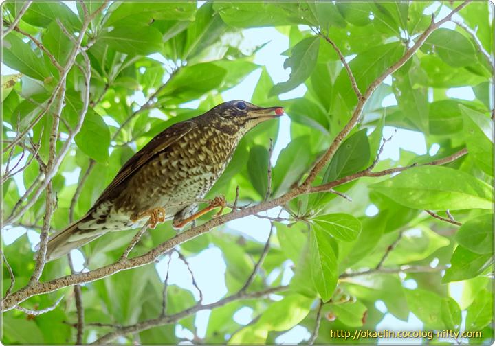 マミジロ♀若鳥