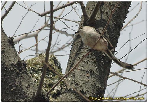 巣を出て来たエナガ