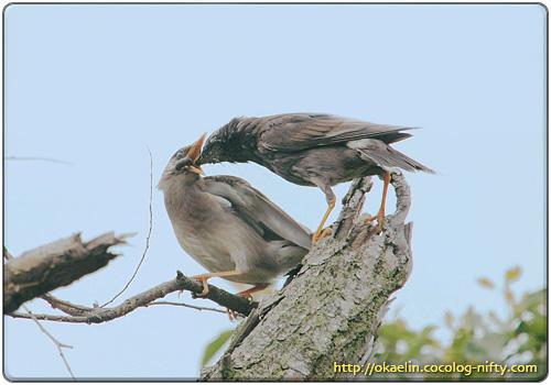 ムクドリの幼鳥
