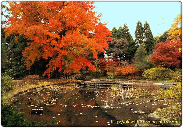 紅葉したフウとあやめ池
