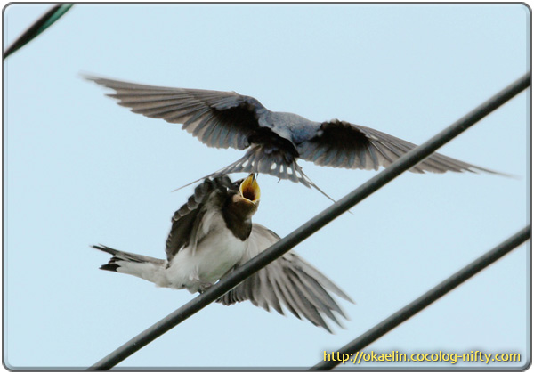 ツバメ幼鳥に餌を運ぶ親鳥 「いっぱい食べて大きくなりなさい!」