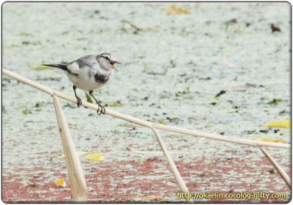 ハクセキレイ幼鳥