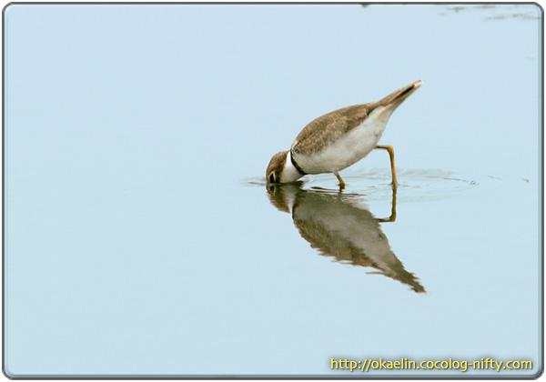 コチドリ幼鳥