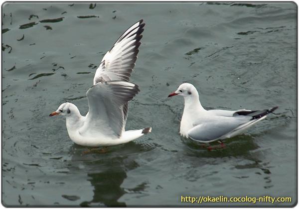 ユリカモメ幼鳥(左) 成鳥(右)