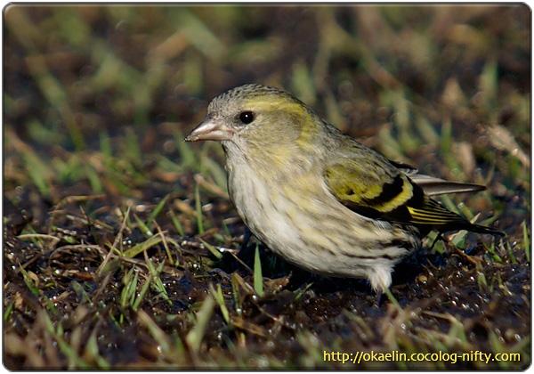 マヒワ若鳥♀