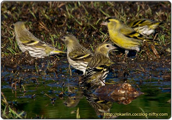 マヒワ成鳥♀(中央から左3羽)成鳥♂(右奥2羽)