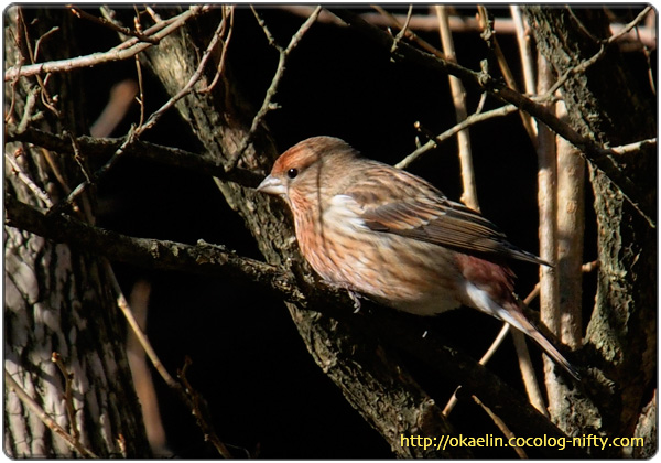 オオマシコ若鳥♀