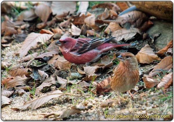 オオマシコ若鳥♀と成鳥♂