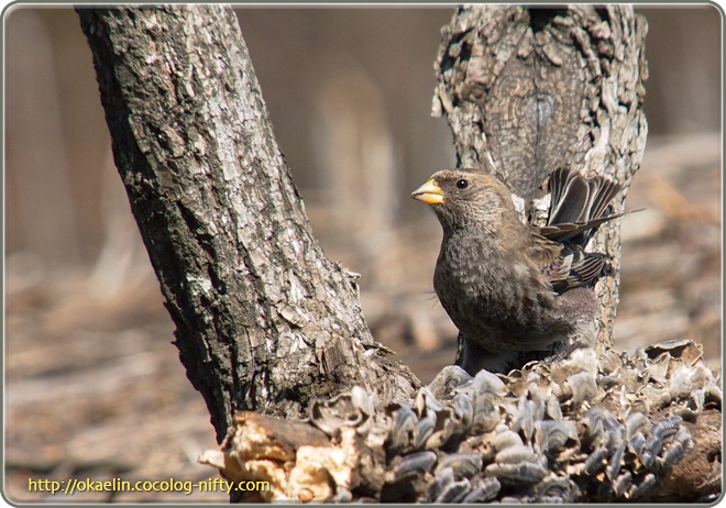 ハギマシコ若鳥
