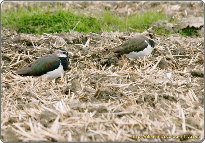 タゲリ♂(左)若鳥(右)