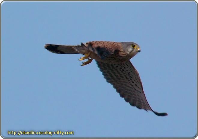 チョウゲンボウ♂ 飛び出し直後の飛翔