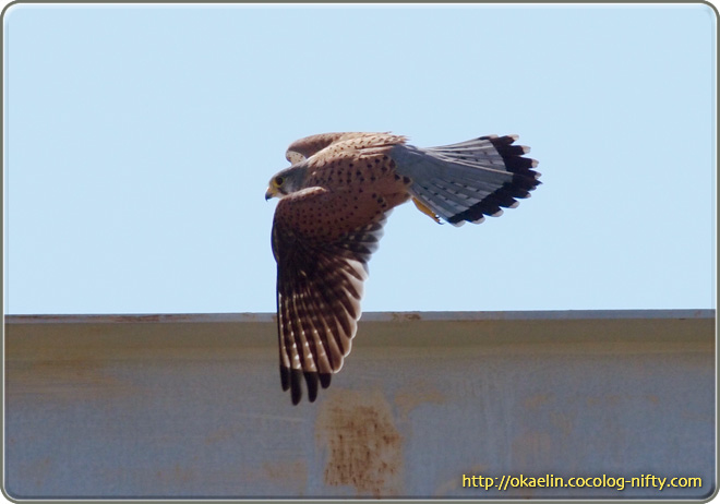チョウゲンボウ♂ そしてそのまま飛翔