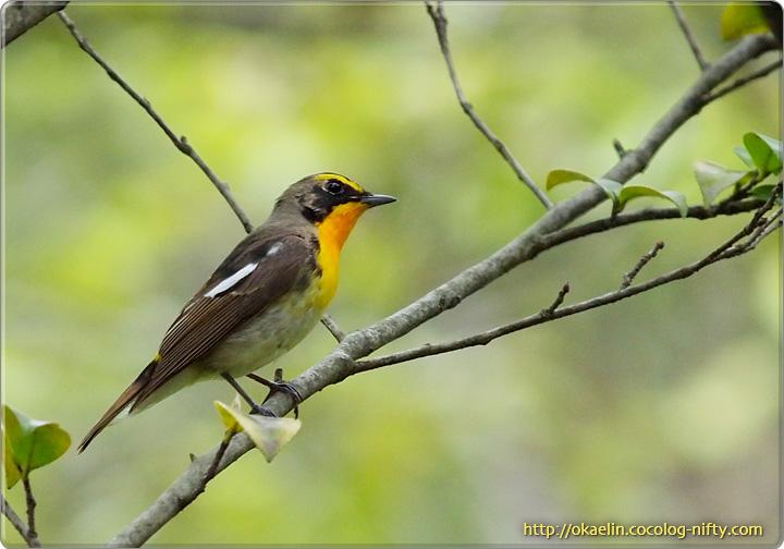 キビタキ♂若鳥