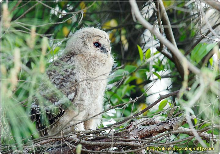 フクロウの雛 翼が見えます