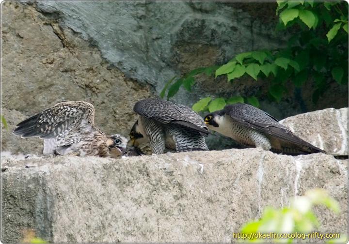 ハヤブサ(雛と親鳥♀[中央]、♂[右])