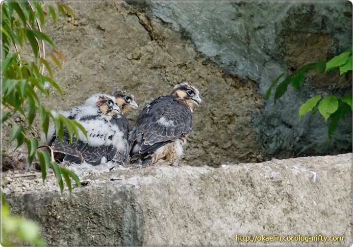 ハヤブサ雛3羽