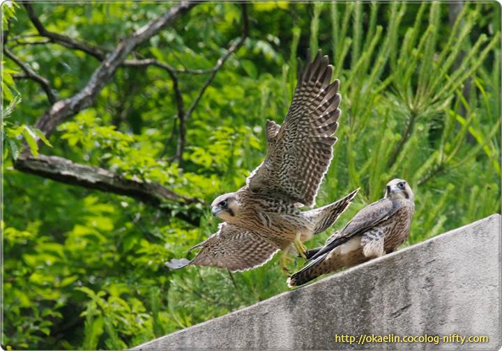 ハヤブサ幼鳥 飛び立つ長男?(左)、次男(右)