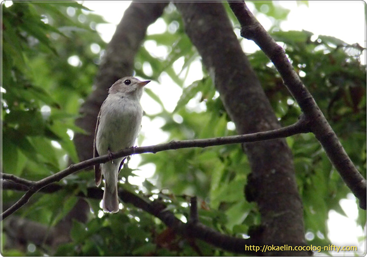コサメビタキの親鳥