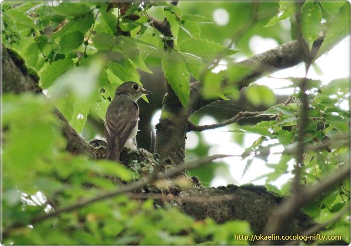 コサメビタキの雛と親鳥