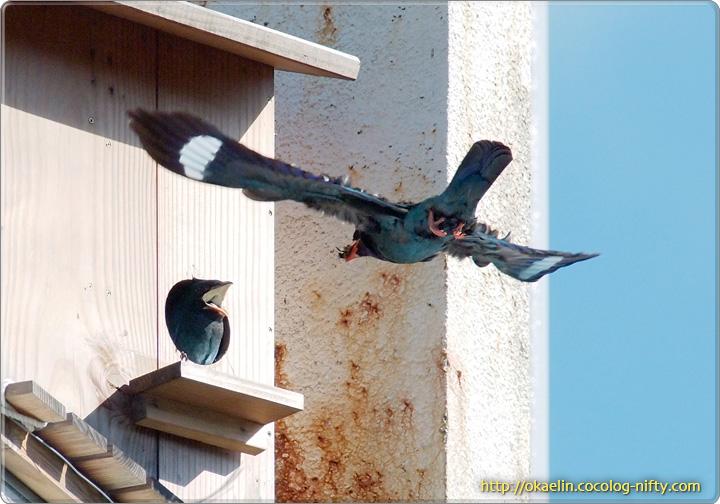 ブッポウソウ親鳥と雛