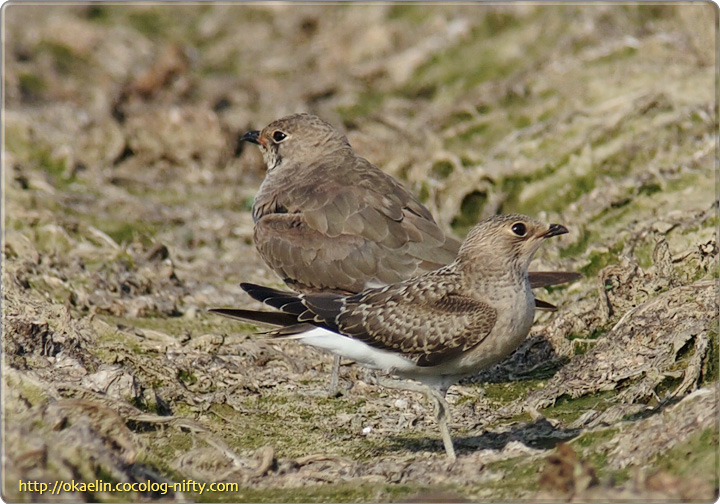 ツバメチドリ (手前)幼鳥、(奥)親鳥