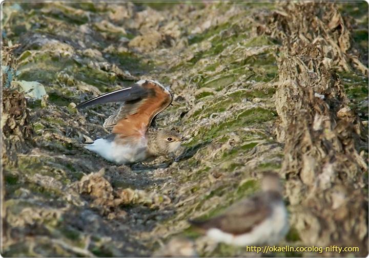 ツバメチドリ幼鳥