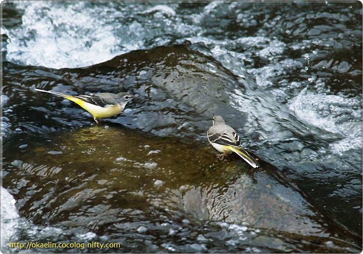 キセキレイ(左:幼鳥 右:親鳥)