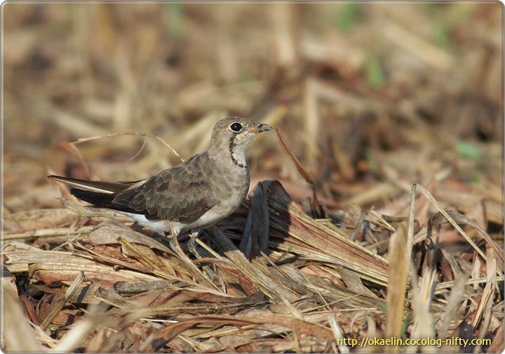 ツバメチドリ(♀)
