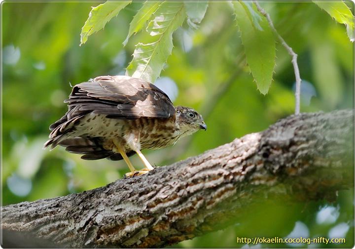 ツミ幼鳥(一番下の子)